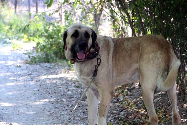 Anadolu çoban köpeklerinin yavruları doğmadan satılıyor 1