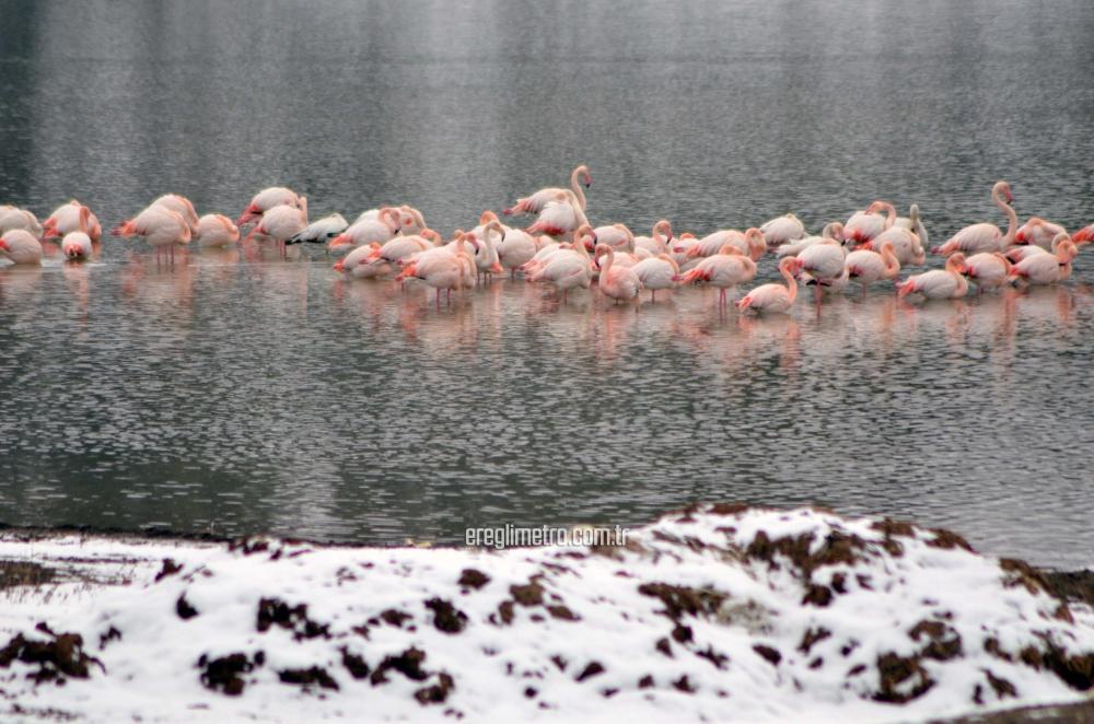 İvriz Baraj Gölü'nde 12 flamingo ölü bulundu 4