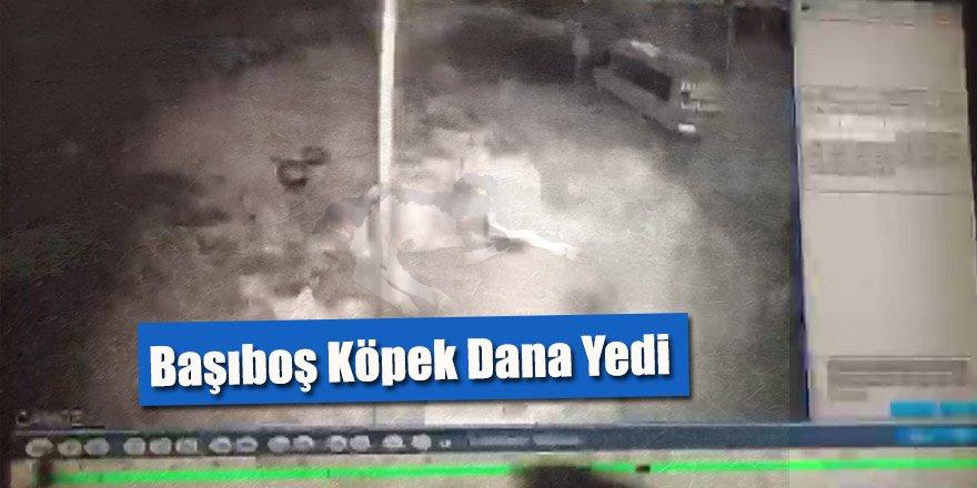 Başıboş Köpek Dana Yedi