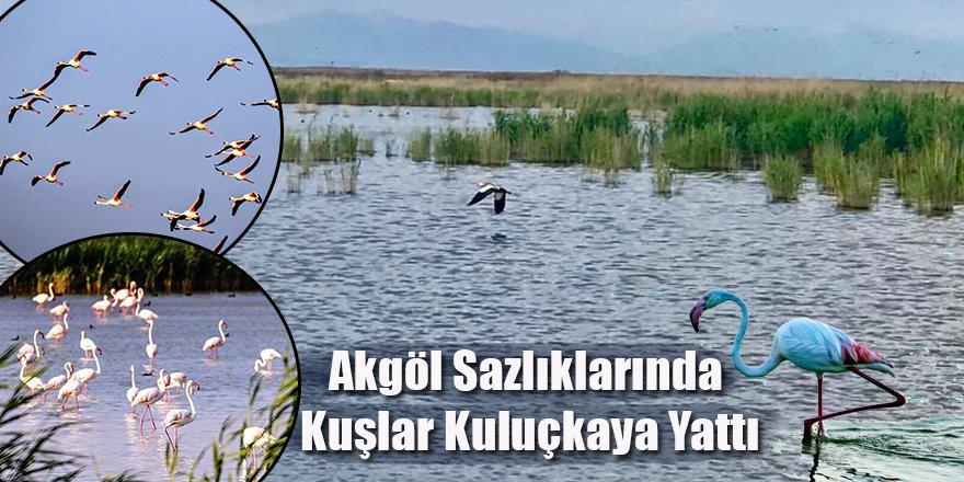 Göç Yolunda, Akgöl Sazlıklarında Kuşlar Kuluçkaya Yattı