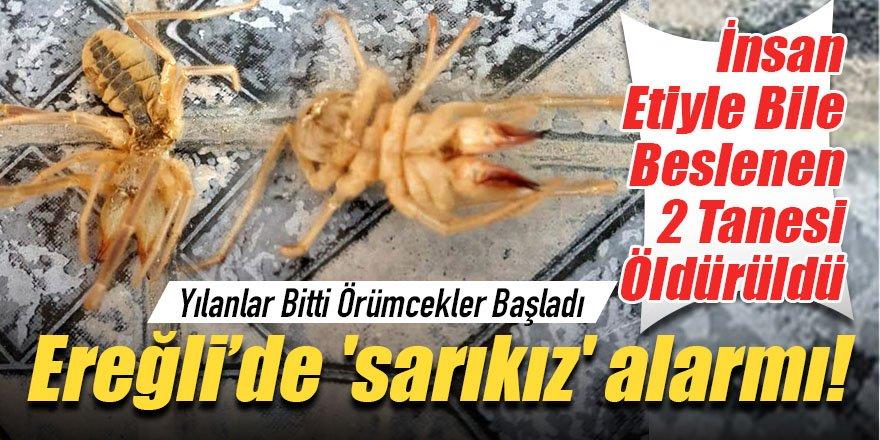 ETLE BESLENEN 2 TANE SARIKIZ ÖRÜMCEĞİ...