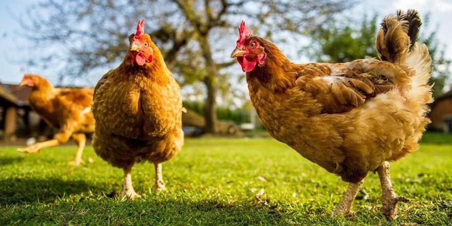 Yumurtanın ardından tavuk fiyatları da zamlandı
