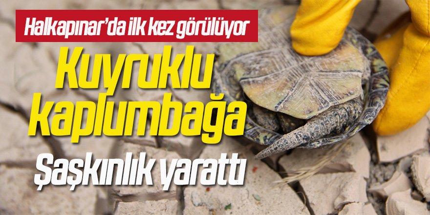 Kuyruklu kaplumbağayı görenler şaşkınlık yaşadı