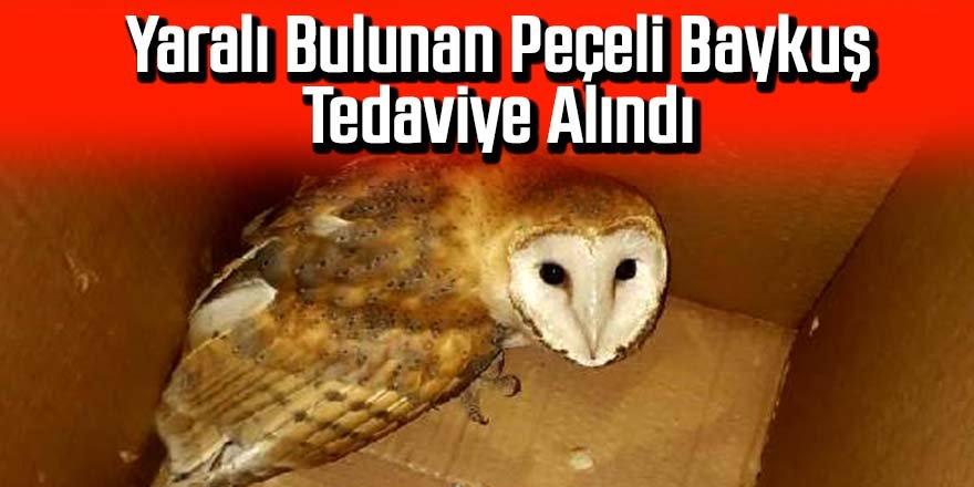 Yaralı bulunan peçeli baykuş tedaviye alındı