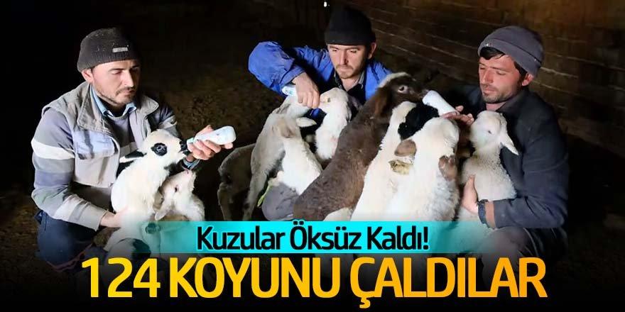 Hırsızlar 124 koyunu çaldı;öksüz kalan kuzuları biberonla besliyorlar!