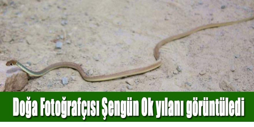 Doğa Fotoğrafçısı Şengün uçan ok yılanını fotoğrafladı