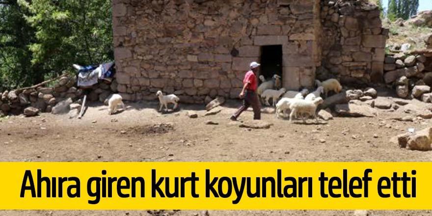 Ahıra giren kurt 10 koyunu telef etti