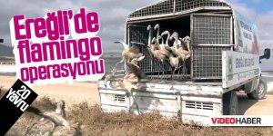 Ereğli'de yavru flamingo operasyonu