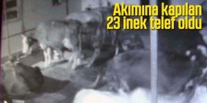 Elektrik akımına kapılan 23 inek telef oldu